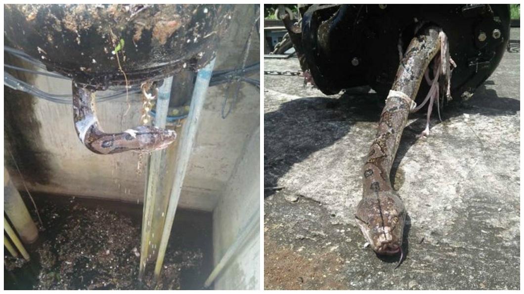 馬來西亞一處濾水站突然出現輸水異常,竟然是一條大蟒蛇卡在管子內。(圖/翻攝自中國報微博) 輸水異常中斷 驚見大蟒蛇卡在管子