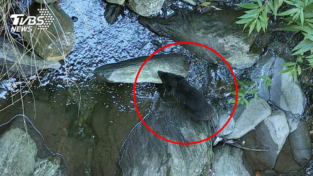 圖/中央社 媽媽在哪裡…小黑熊迷路了 專家:別圍觀會害死牠
