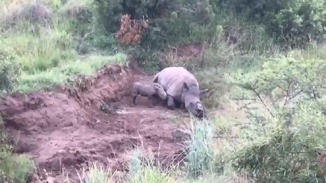 圖/翻攝自臉書「Rhino 911」 再也醒不來...母犀牛遭斷角獵殺 寶寶輕推屍體想喝奶