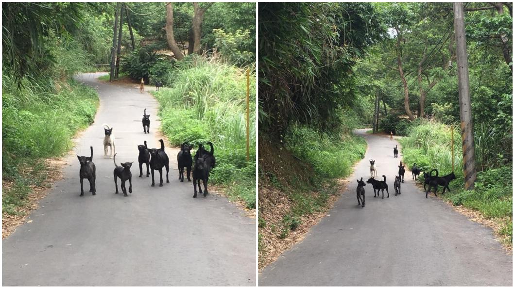 圖/翻攝自臉書「爆料公社」 回家路被「30隻狗」追扯褲管 騎士嘆:要等到出事嗎