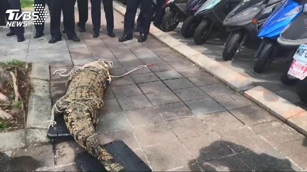 圖/TVBS 行政院外驚見活跳跳鱷魚! 男抗議手段超嚇人