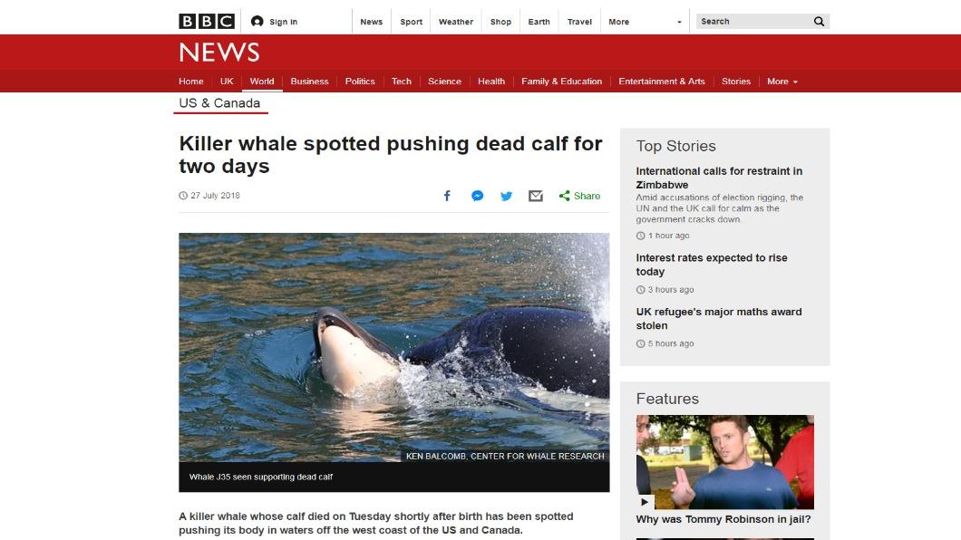 圖/翻攝自BBC 幼鯨出生就夭折 虎鯨媽「頂水面」伴屍7天不肯走