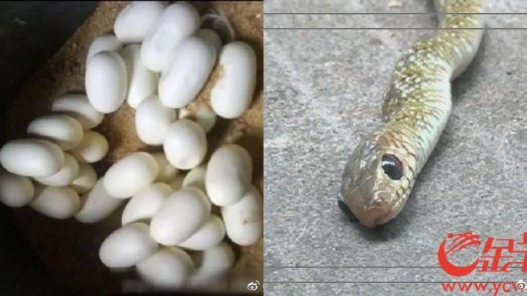 圖/翻攝自微博 1000顆蛇蛋天熱全孵化 社區遭入侵「水管全都是」
