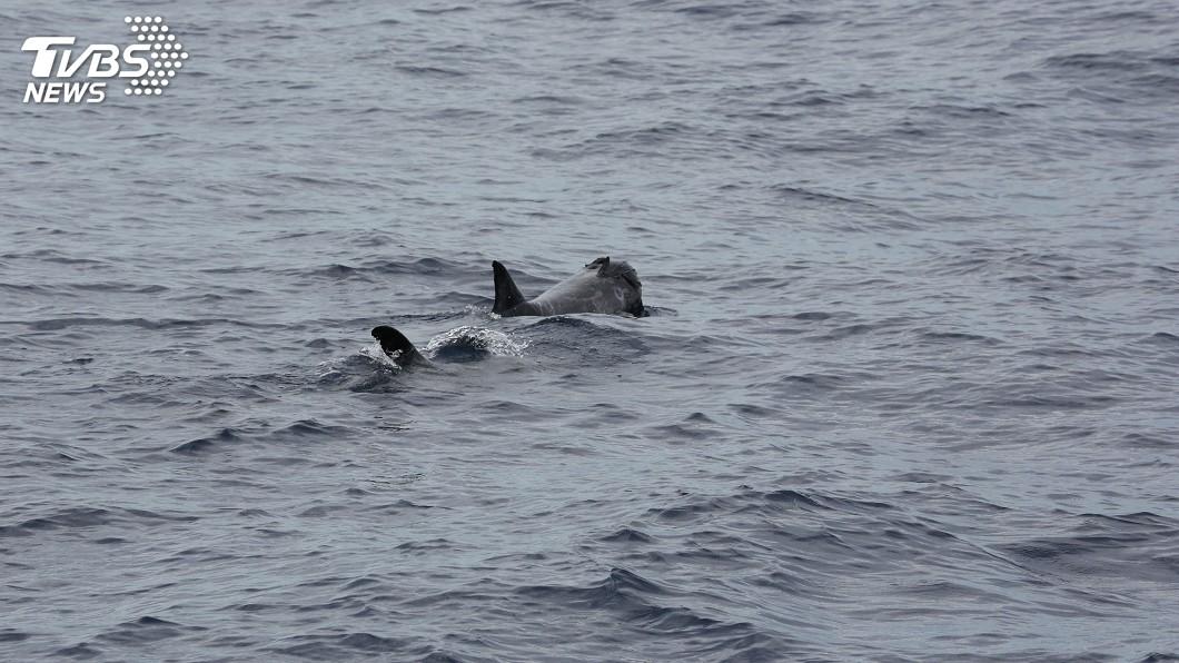 圖/中央社 東部海域鯨豚調查 海豚搶玩塑膠垃圾