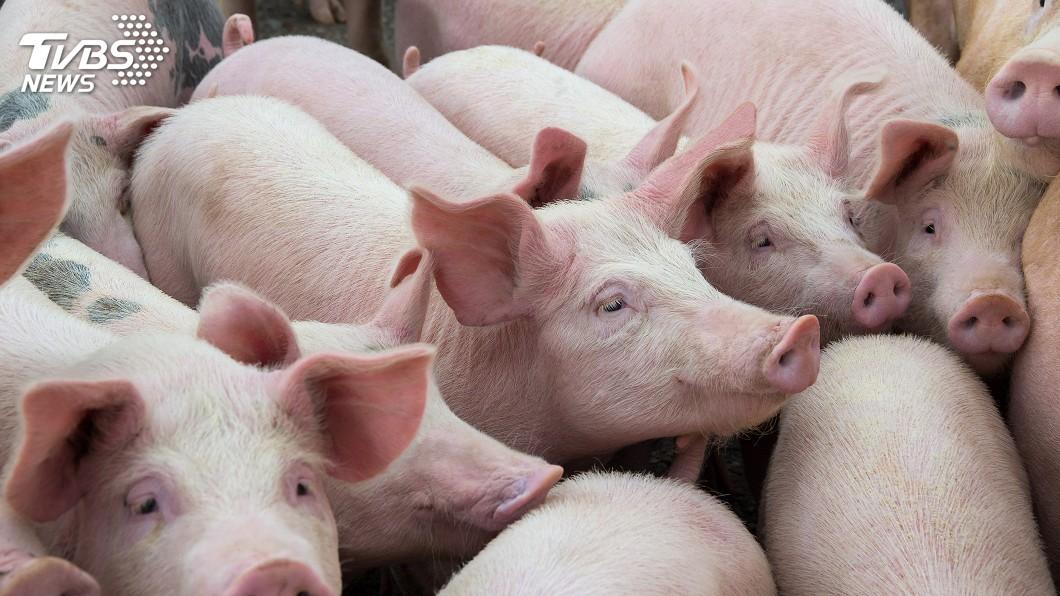 示意圖/TVBS 人臉辨識算什麼! 大陸「豬臉辨識」商業化