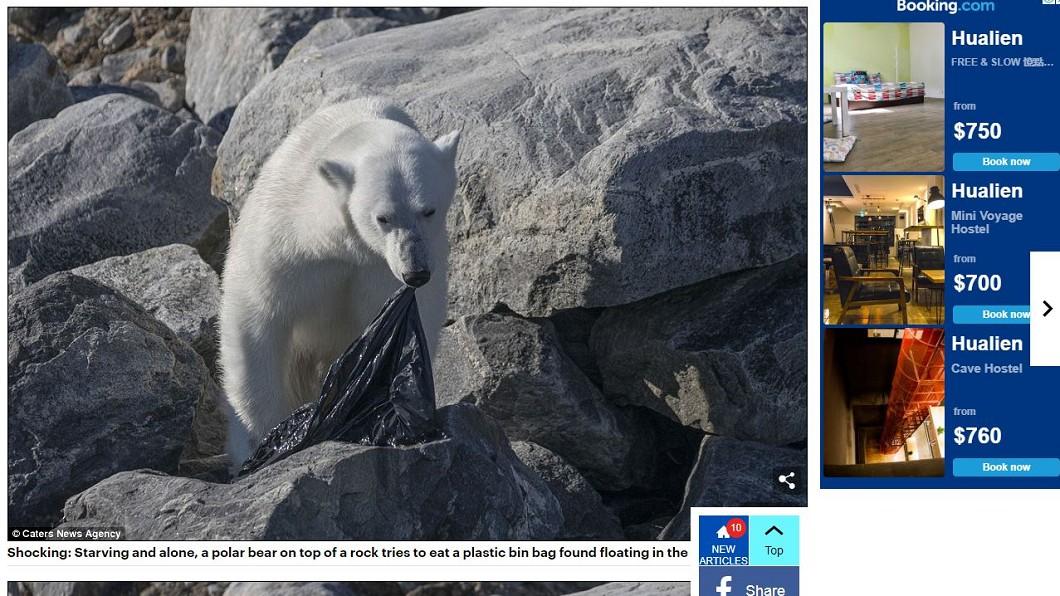 圖/翻攝自Daily Mail官網 真的太餓! 北極熊咀嚼塑膠袋畫面曝光引人鼻酸