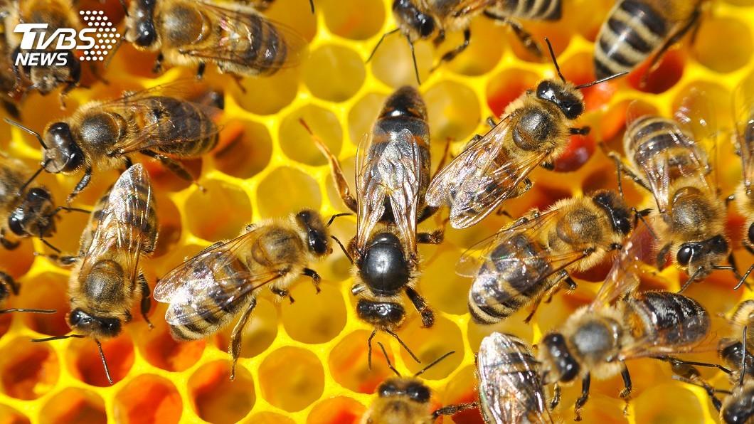 示意圖/TVBS 巴西近5億蜜蜂死於農藥中毒 學者:恐引發食物戰爭