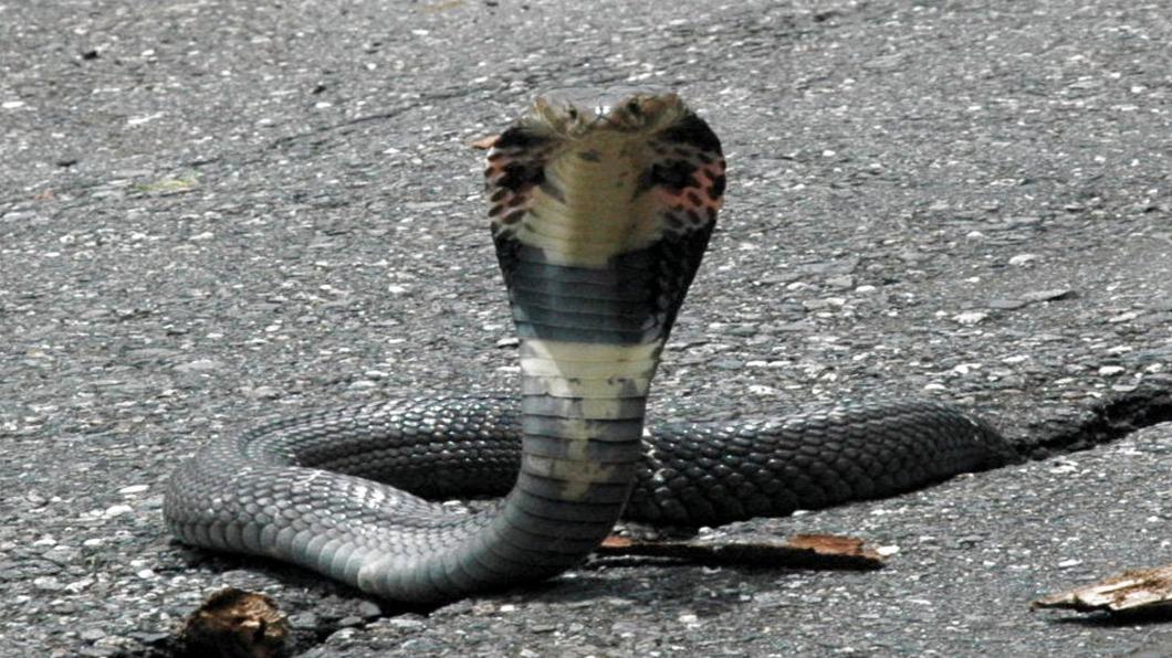 示意圖/中央社 東勢驚「200條毒蛇亂竄上岸」 離住家不到百公尺遠