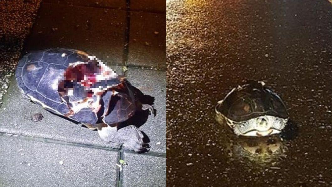 翻攝/爆料公社 爆殼龜「心臟還在跳」!怕路殺他報警 反被網友狂酸