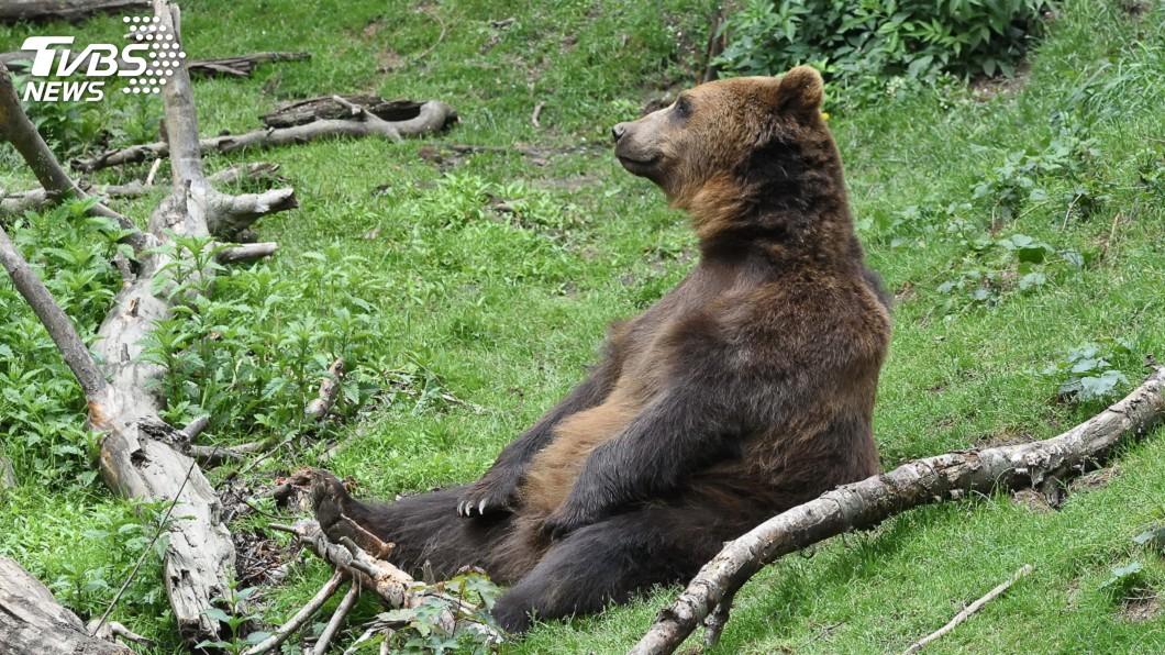 示意圖/TVBS 留住庇里牛斯原生熊最後血脈 法國將野放母熊