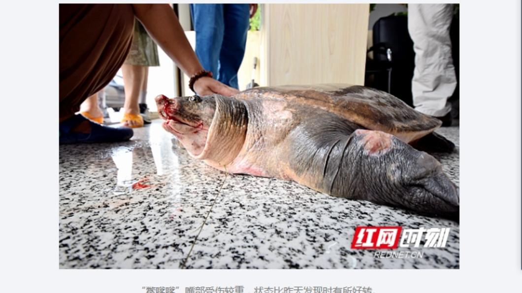 圖/翻攝自紅網時刻 生在清朝嘉慶年間 200歲鱉王落難全身傷