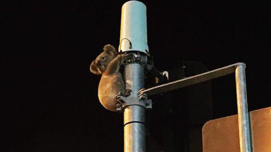 圖/翻攝自Wildcare Australia Inc.臉書 家在哪裡? 澳洲無尾熊緊抱電線桿等救援
