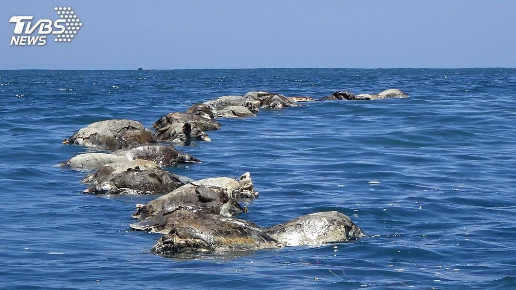 圖/達志影像路透社 墨西哥海域海龜集體溺斃 困非法漁網屍體漂浮海面