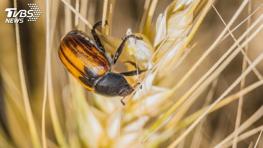 示意圖/TVBS 暖化使害蟲胃口大開 蠶食更多農作物