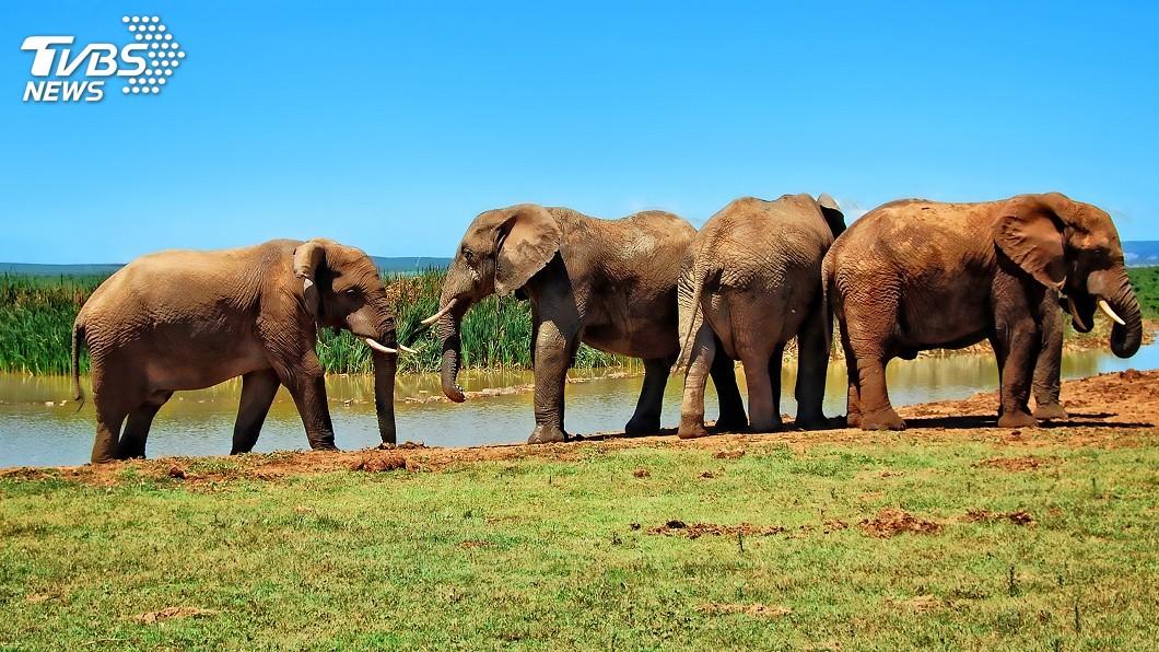 示意圖/TVBS 非洲大規模盜獵事件 90頭象疑遭拔牙喪命