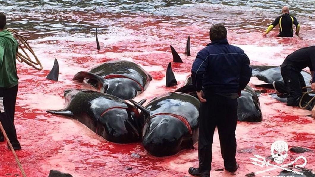 圖/翻攝自「Sea Shepherd UK」臉書 「脊椎槍」屠殺鯨豚血染海灣 當地漁民慶祝:很幸運