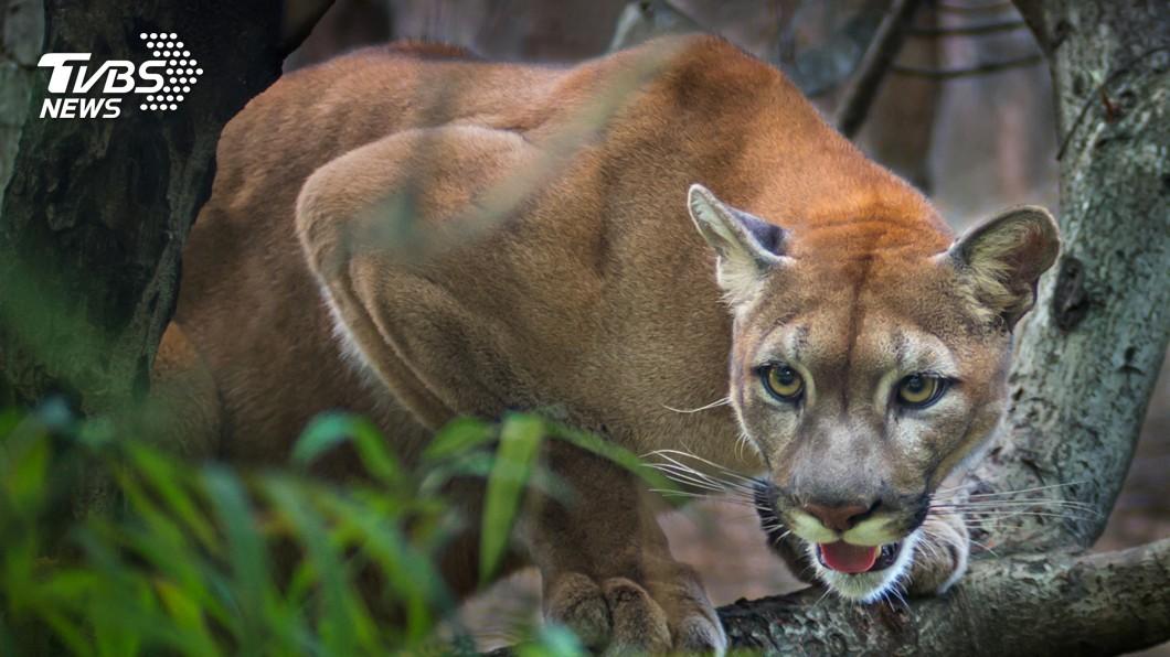 圖/TVBS 美洲獅狠咬7歲童不鬆口 勇母「空手搏獅」救人