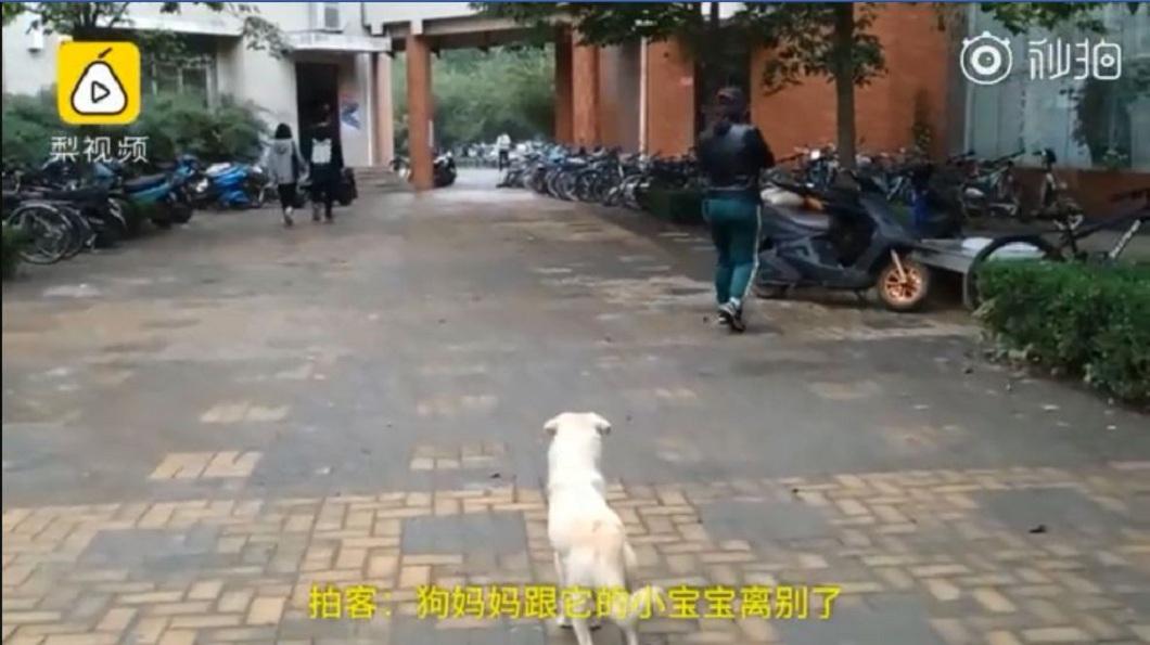 學生拍下狗媽媽望著飼養者抱走孩子的背影。(圖/翻攝自梨視頻)