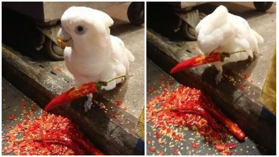 圖/翻攝自爆料公社 逛老街竟遇到超神鸚鵡猛嗑辣椒! 原因是「這個」