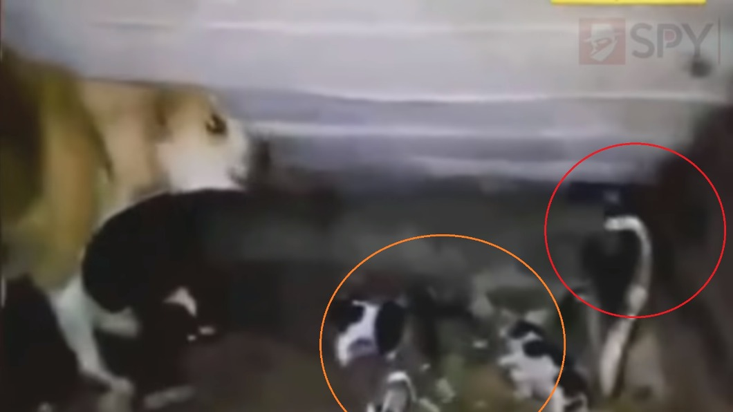 圖/翻攝自YouTube 7浪汪寶寶遭眼鏡蛇偷襲 狗媽奮力狂戰顯母愛