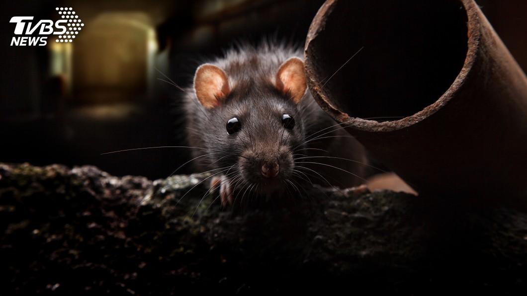示意圖/TVBS 中國大陸鼠疫延燒 內蒙古再增1腺鼠疫病例