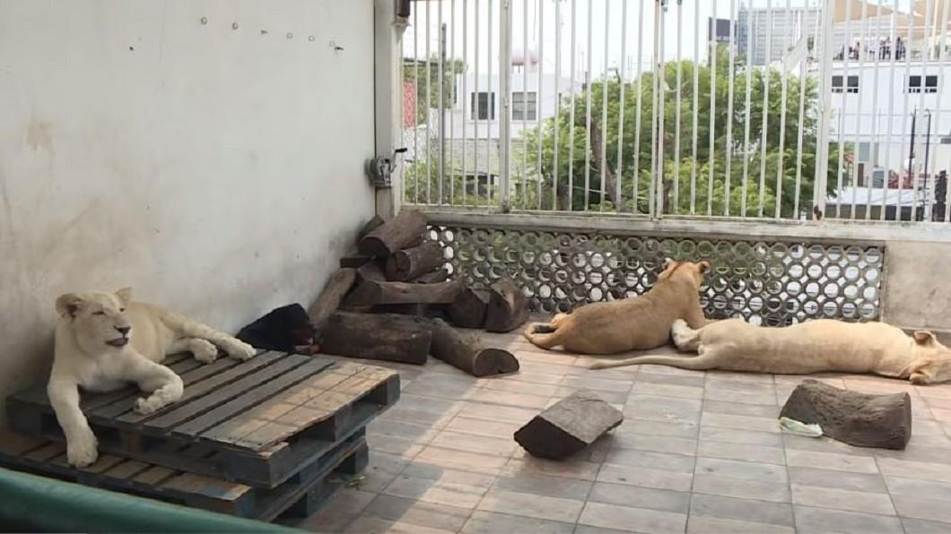 圖/翻攝自afpes YouTube 長年有動物咆嘯…鄰居痛苦 警上門驚見3頭獅子