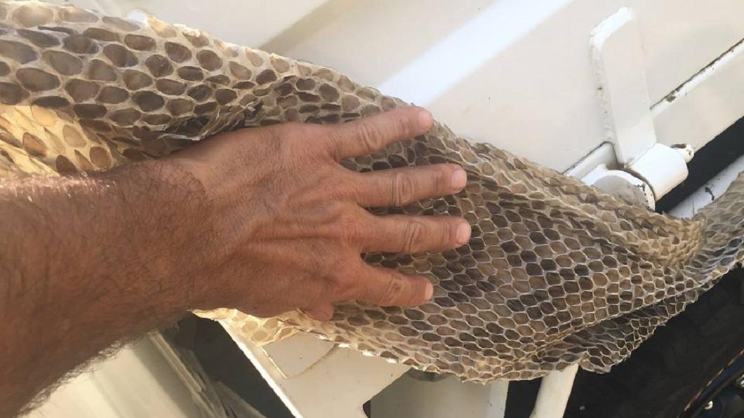澳洲一名抓蟲高手日前到客戶家進行服務時,赫然驚見長約6公尺的蛇皮。(圖/翻攝自臉書) 驚!女養6公尺巨蟒藏閣樓「抓老鼠」 夫被瞞40年