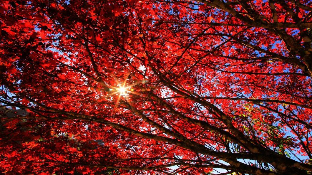 圖/翻攝自愛上杉林溪臉書 秋意濃!杉林溪紅楓、11月賞雪螢 遊客盛讚美景動人