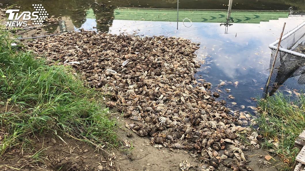 圖/中央社 短少的戴奧辛大閘蟹找到了 抽乾池水全陳屍池底