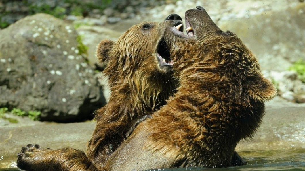 示意圖/翻攝自visualhunt網站 堂弟遭棕熊襲擊 少年捨身誘敵遭分屍肢解慘死