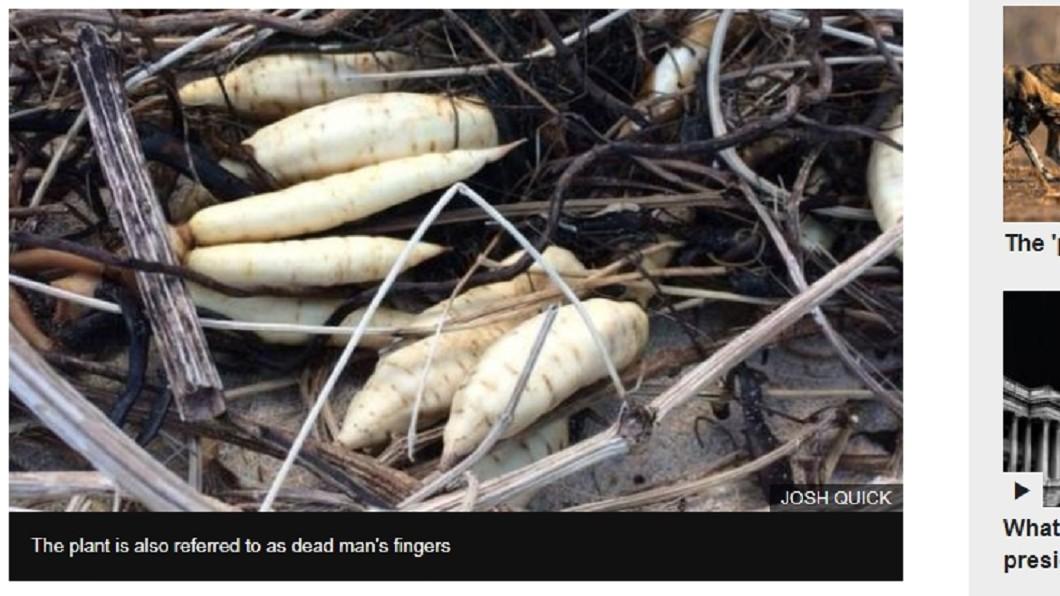 圖/翻攝《BBC》 小心!吃到這種「白蘿蔔」 一小撮葉子就喪命