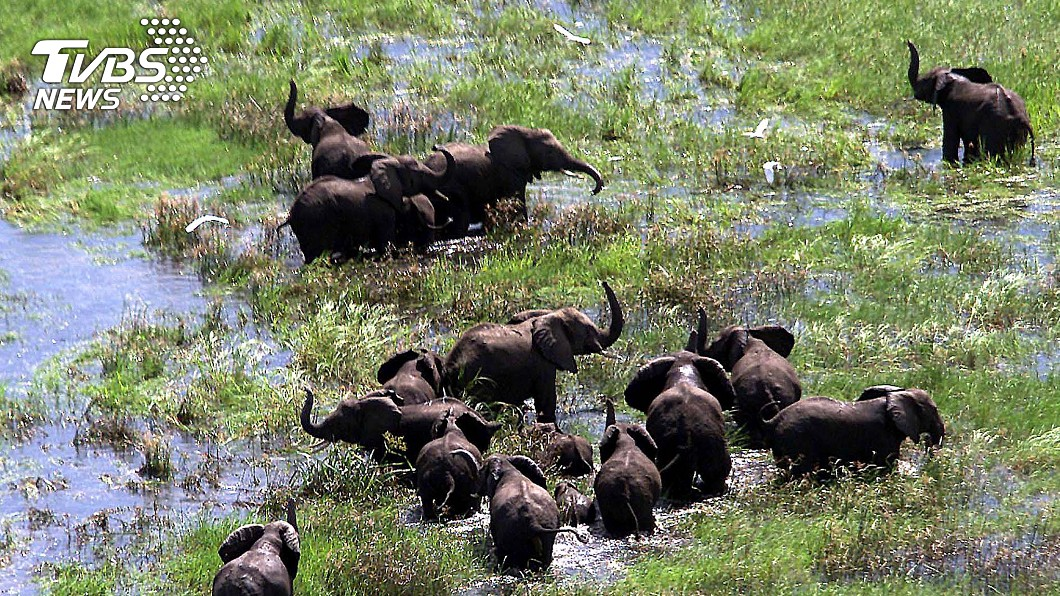 圖/達志影像路透社 人類大量獵殺非洲大象 竟3成母象出生不再長象牙