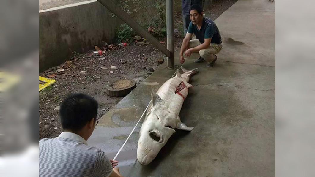 中華鱘最大可長到4米、1400多斤,如今面臨滅絕危機。圖/翻攝自澎拜新聞