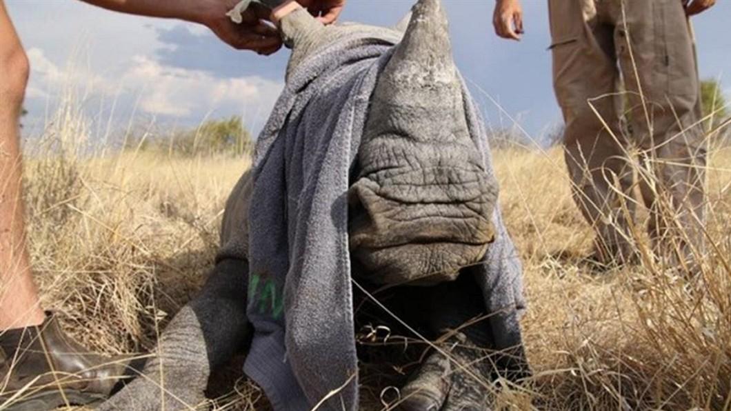 圖/翻攝David Shepherd Wildlife Foundation 親眼見媽被殺…小犀牛縮屍體旁顫抖 他淚蓋毛巾遮眼