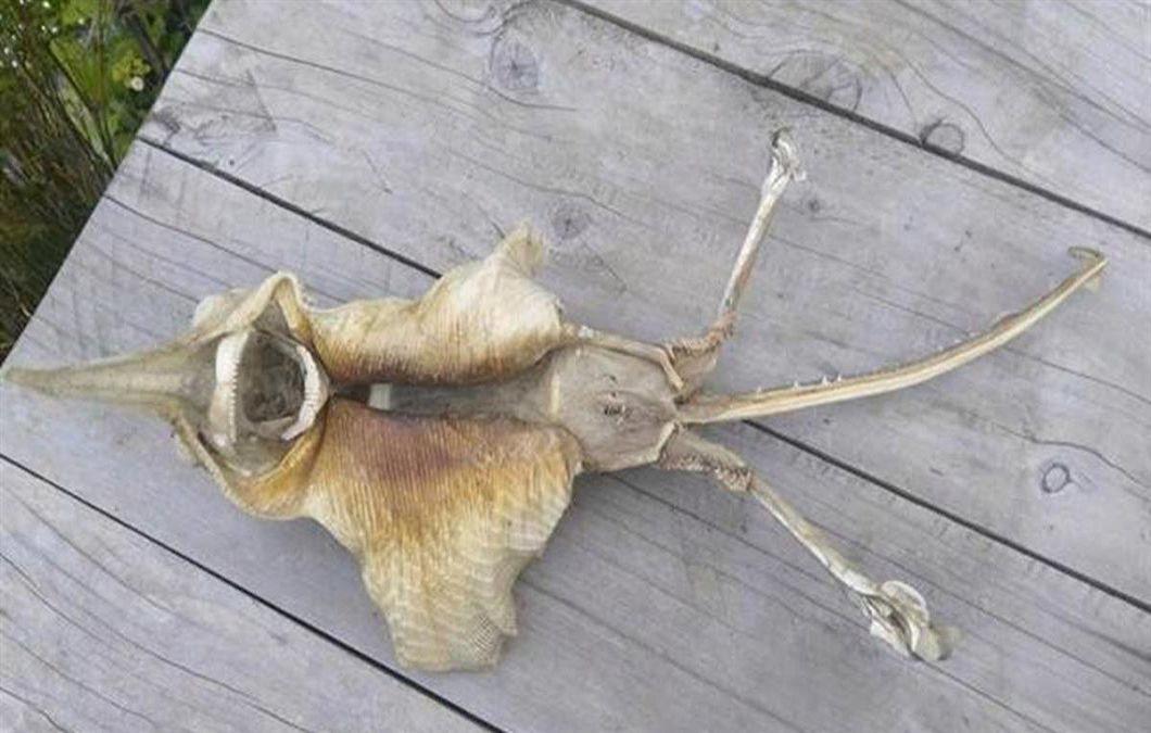 圖/翻攝自New Zealand Herald 滿嘴尖牙有尾有翅 海灘驚見「外星怪魚」遺骸