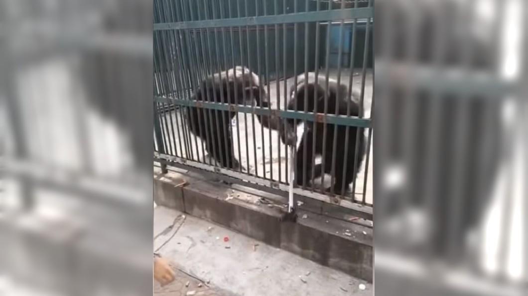 圖/ AllVideoKingdom AVK YouTube 黑猩猩搶到自拍棒興奮爽跳 下秒被同伴拿走還給遊客