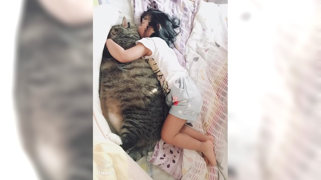 圖/翻攝自貓咪也瘋狂俱樂部 以為是海豹!她曬女兒環抱巨貓照 萬人驚呆求養法