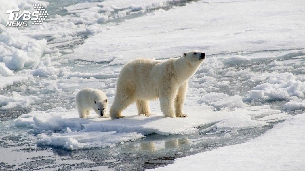 (示意圖/shutterstock 達志影像) 全球暖化海冰縮小 北極熊80年內恐面臨滅絕