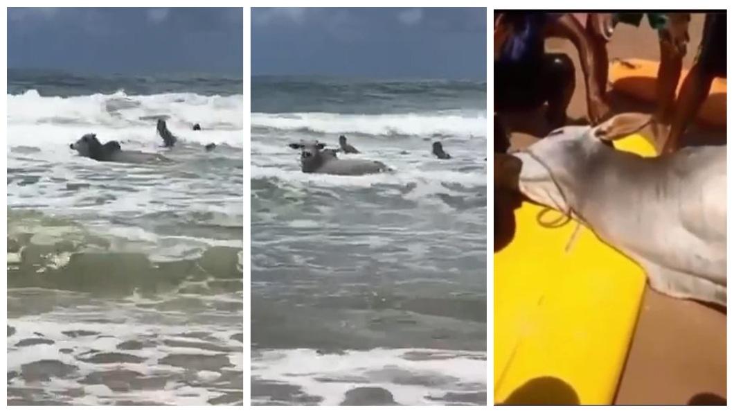 公牛衝入大海後,一度回頭看這些搜救人員,最後溺斃身亡。(圖/翻攝自YouTube)
