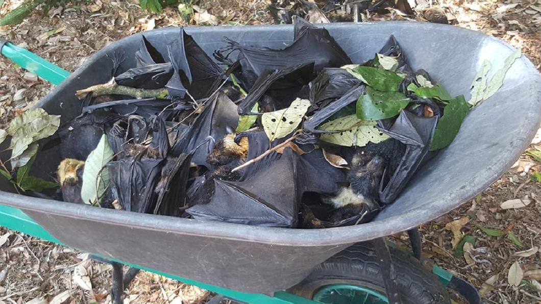 目前了解約莫有5500隻的蝙蝠屍體,相關清潔單位還沒清理完畢。(圖/翻攝自臉書)