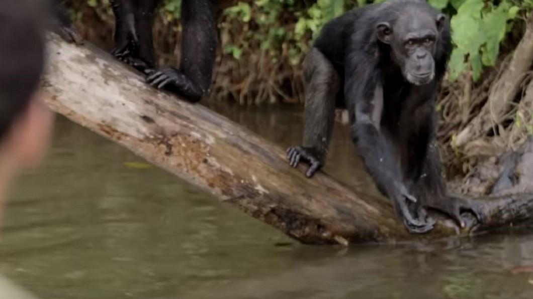 猩猩島上的黑猩猩見到人類就具有攻擊性。圖/YouTube 實驗用猩猩被棄置荒島等死 身心受創驚傳「會吃人」