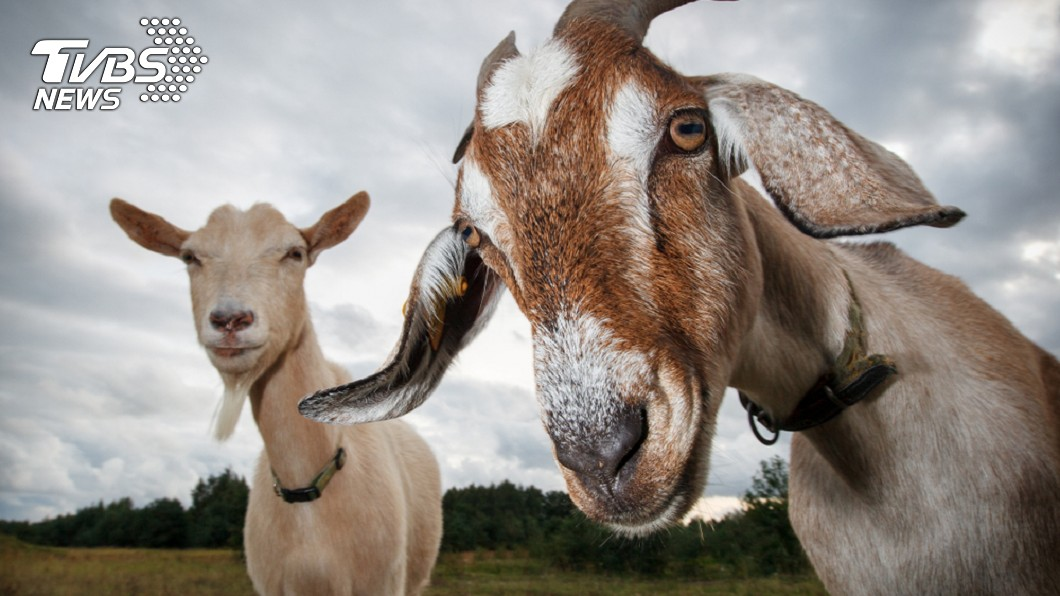 70萬現鈔放桌上,竟被山羊當「早餐」啃光。示意圖/TVBS 山羊吃光飼主的「夢想錢」成最貴的烤羊排
