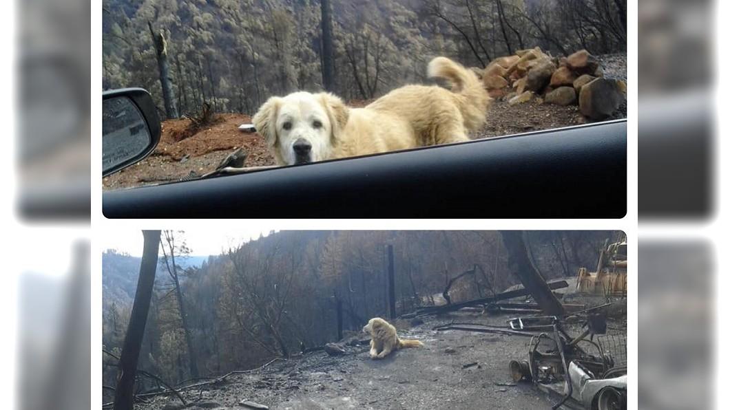 美國北加州11月爆發災難性野火,安那托利亞牧羊犬麥迪遜逃過死劫,仍在守候已燒成廢墟的家園,等待主人歸來。/翻攝自www.facebook.com/K9PawPrintRescue 加州野火堅守家園1個月 主人鼻酸:你是最棒的毛孩