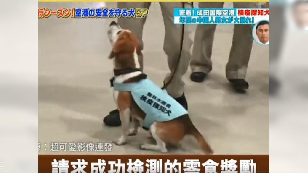 日本機場檢疫犬近日成功擋下大陸豬肉進入國內。圖/翻攝自臉書影片 超萌!檢疫犬搜10kg豬肉頻討獎勵 陸大媽崩潰求放過