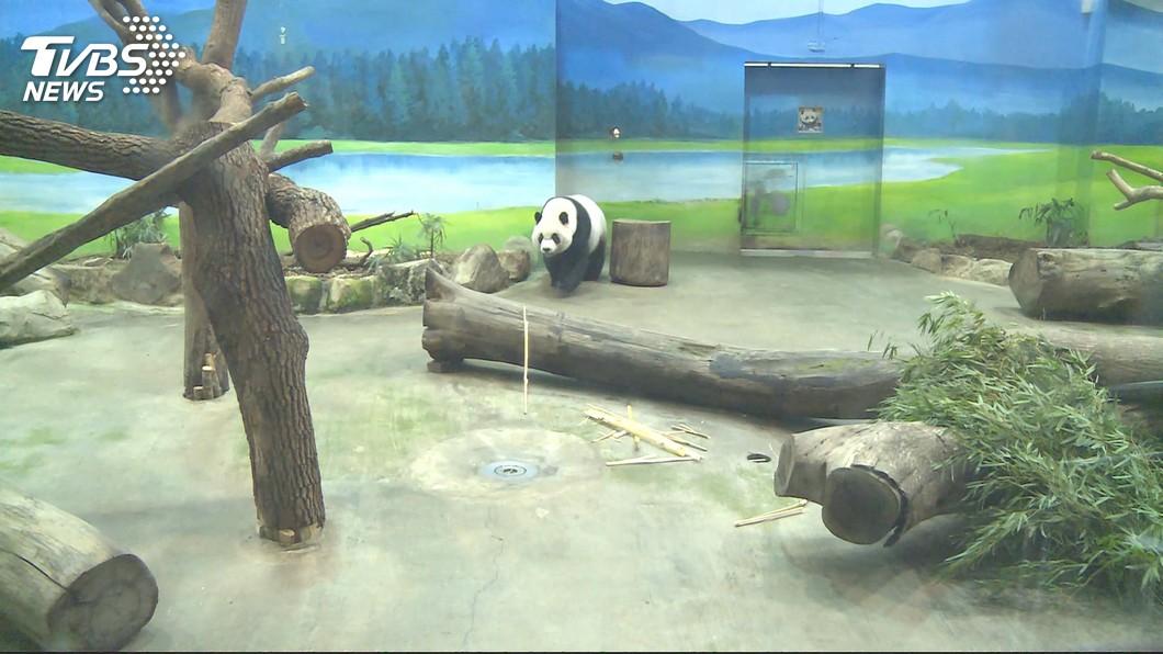圖/TVBS 動物園赴陸參加年會遭拒 圓仔恐難脫單