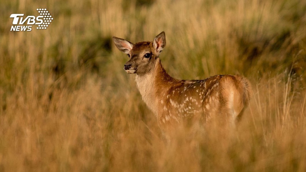 示意圖/shutterstock 砍百隻「鹿頭」任屍體腐爛 盜獵者被罰看《小鹿斑比》