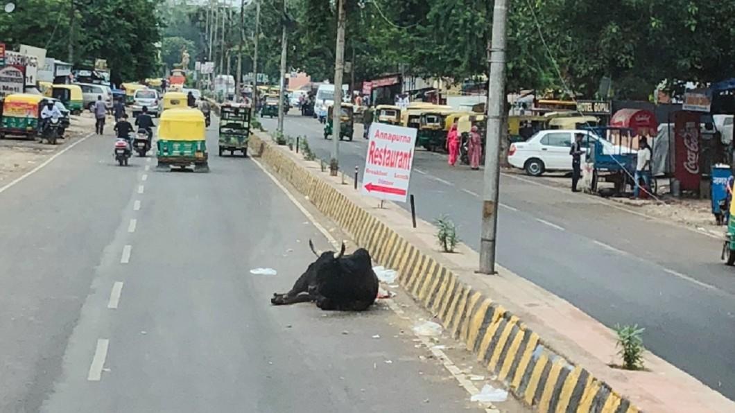 印度對動物的神聖態度比強姦罪還重,強姦可能被判個20年,但殺了動物十天後絞刑,難怪牛隻過馬路或在馬路上休憩再自然不過。圖片來源/作者提供
