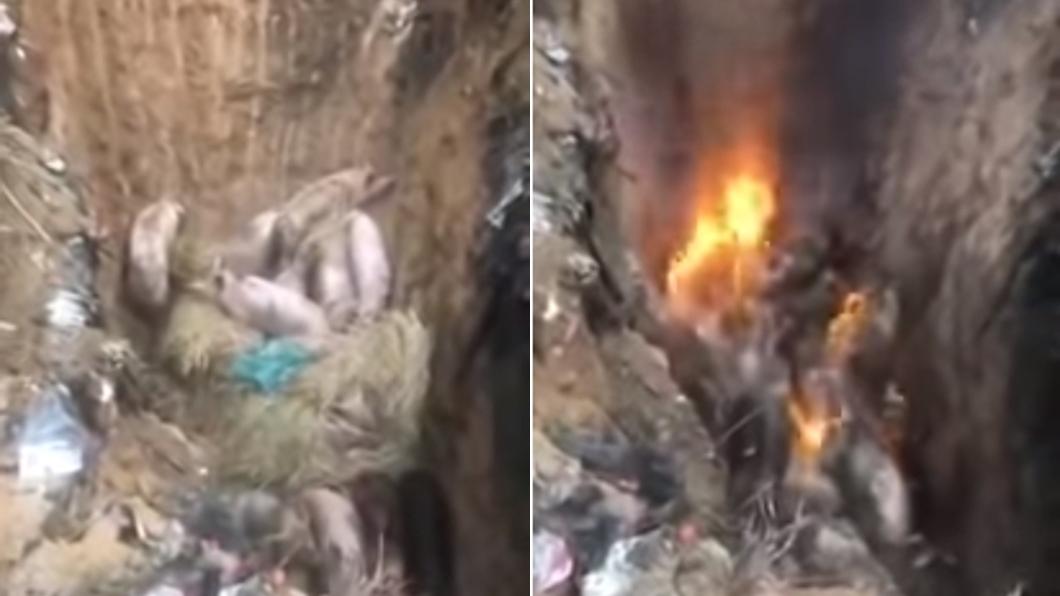 圖/翻攝自YouTube 影/火烤撲殺非洲豬瘟 病豬被活活燒死叫聲淒厲