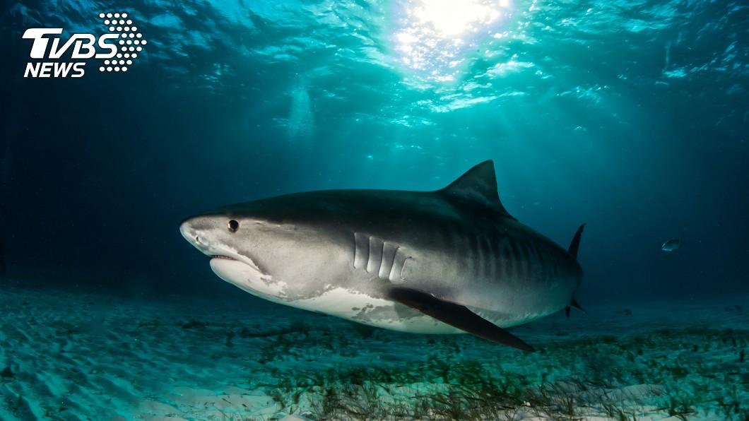 鼬鯊。示意圖/TVBS