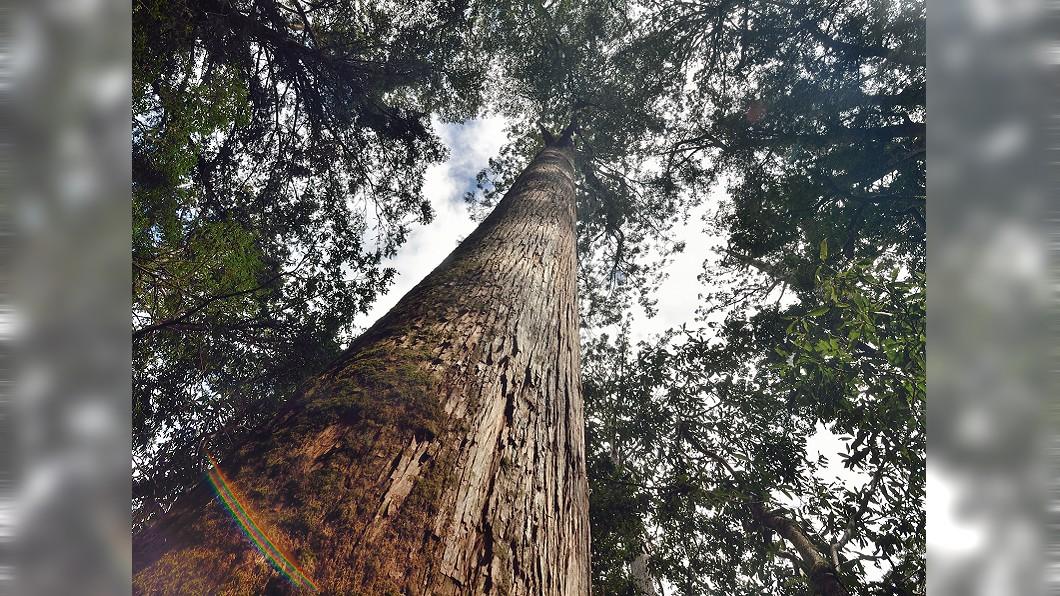 圖/台東林管處提供 10人才抱得住!全台首見千年檜木群 特遣隊員都驚呆